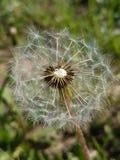 Pissenlit fragile sur le vent photographie stock libre de droits