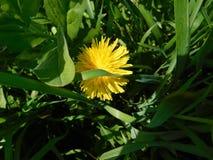 Pissenlit isolé dans la haute herbe verte image libre de droits