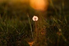 Pissenlit isolé dans le pré à la lumière de coucher du soleil Photographie stock libre de droits