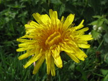 Pissenlit jaune photos stock