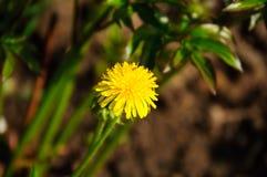 Pissenlit jaune Photographie stock libre de droits