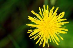 Pissenlit jaune Image libre de droits