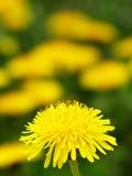 Pissenlit jaune Photo stock