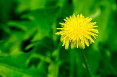 Pissenlit jaune Photos libres de droits