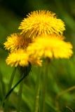 Pissenlit jaune Images libres de droits