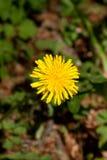 Pissenlit jaune bon dans la nature Photo libre de droits