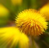 Pissenlit jaune d'isolement photo stock
