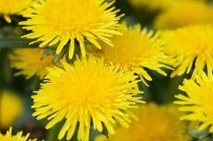 Pissenlit jaune dans le pré de vert d'herbe Photographie stock libre de droits