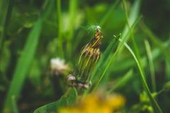 Pissenlit jaune La source est ici Amour d'abeille cette fleur Macro photographie Photo stock