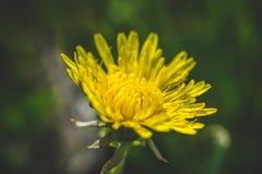 Pissenlit jaune La source est ici Amour d'abeille cette fleur Macro photographie Photographie stock