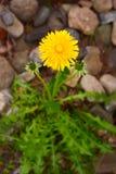 Pissenlit jaune lumineux sur un fond neutre image stock