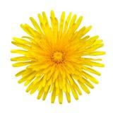 Pissenlit jaune - officinale de Taraxacum d'isolement image libre de droits
