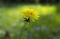 Pissenlit jaune, officinale de Taraxacum en fleur image stock