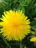 Pissenlit jaune sur l'herbe verte Images stock