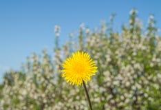 Pissenlit jaune sur le ciel bleu de fond dans un jour ensoleillé Image stock