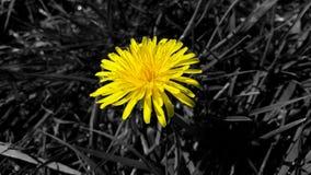 Pissenlit jaune sur le fond d'herbe en noir et blanc, plan rapproché Image libre de droits