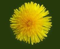 Pissenlit jaune sur un fond vert Image stock