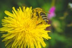 Pissenlit La source est ici Amour d'abeille cette fleur Photographie stock libre de droits