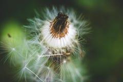 Pissenlit La source est ici Amour d'abeille cette fleur Macro photographie Photo stock
