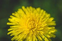 Pissenlit La source est ici Amour d'abeille cette fleur Macro photographie Photos libres de droits