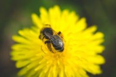 Pissenlit La source est ici Amour d'abeille cette fleur Macro photographie Photos stock