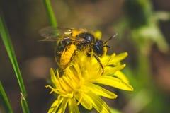Pissenlit La source est ici Amour d'abeille cette fleur Macro photographie Photo libre de droits