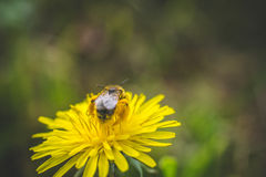 Pissenlit La source est ici Amour d'abeille cette fleur Macro photographie Photographie stock