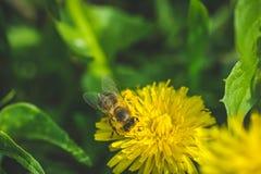 Pissenlit La source est ici Amour d'abeille cette fleur Macro photographie Photographie stock libre de droits