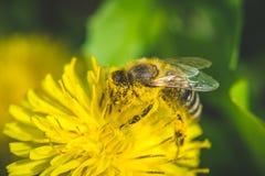 Pissenlit La source est ici Amour d'abeille cette fleur Macro photographie Images stock