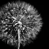 Pissenlit noir et blanc Photographie stock libre de droits