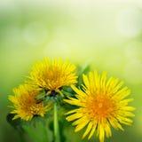Pissenlit parmi des fleurs Photographie stock