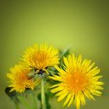 Pissenlit parmi des fleurs Image stock