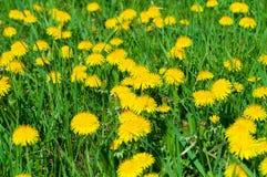 Pissenlit parmi des fleurs Photographie stock libre de droits