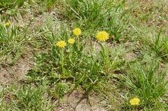 Pissenlit parmi des fleurs Images libres de droits