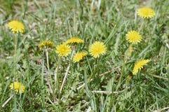 Pissenlit parmi des fleurs Images stock