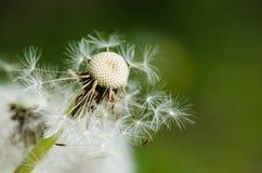 Pissenlit passé de fleur Photographie stock libre de droits