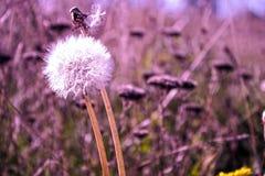 Pissenlit pelucheux sur le fond lilas photo stock