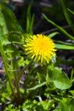 Pissenlit simple dans l'herbe Photographie stock