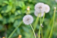 Pissenlit simple en verts en gros plan Photos stock