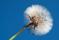 Pissenlit sur le ciel bleu Photos stock