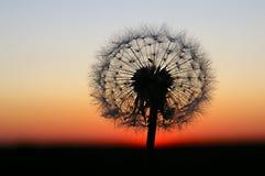 Pissenlit sur le coucher du soleil Image stock