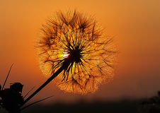 Pissenlit sur le coucher du soleil Images stock