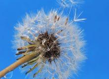 Pissenlit sur le fond bleu Photo libre de droits