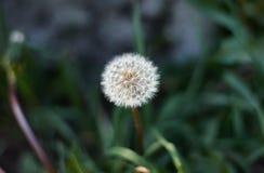 Pissenlit sur le fond brouillé d'herbe Photographie stock libre de droits