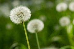 Pissenlit sur le fond d'herbe verte Photographie stock