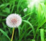 Pissenlit sur le fond d'herbe verte Photographie stock libre de droits