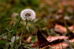 pissenlit sur le fond de la liste d'automne Photographie stock libre de droits