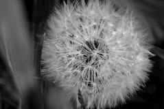 Pissenlit sur le gisement de ressort Image noire et blanche Photo stock