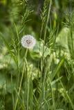 Pissenlit sur le pr? Jour de source Envahi avec le pr? d'herbe verte, parmi les herbes vous pouvez voir de nombreux pissenlits d? images stock
