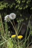 Pissenlit sur le pr? Jour de source Envahi avec le pré d'herbe verte, parmi les herbes vous pouvez voir de nombreux pissenlits dé images stock